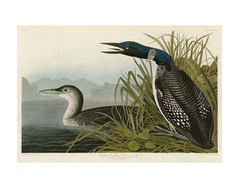 Framed Great Northern Diver or Loon Print