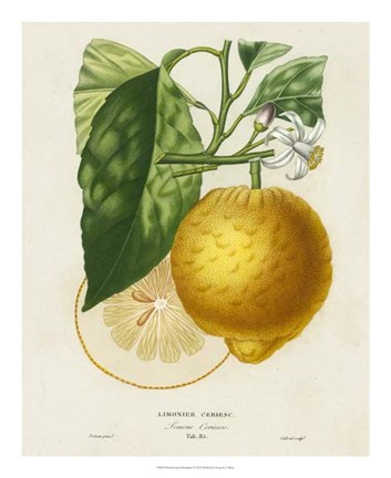 Framed French Lemon Botanical I Print