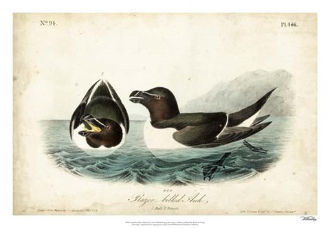 Framed Audubon Razor-billed Auk Print