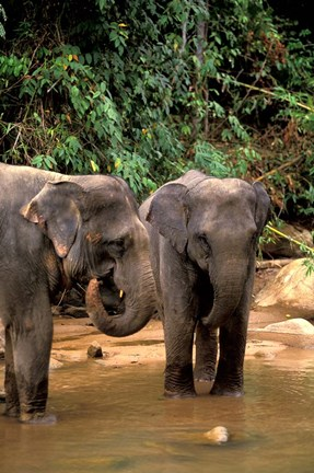 Framed Asian Elephants in Khao Yi National Park, Thailand Print
