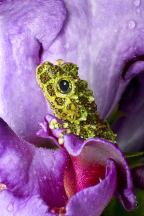 Framed Close-up of mossy tree frog on flower, Vietnam Print