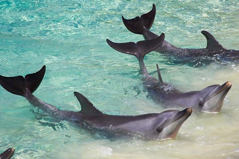 Framed Dolphins, Sea World, Gold Coast, Queensland, Australia Print