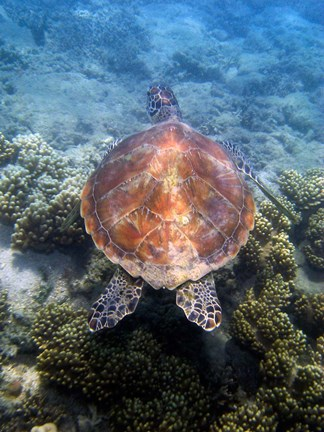 Framed Green Turtle, Low Isles, Great Barrier Reef, North Queensland, Australia Print