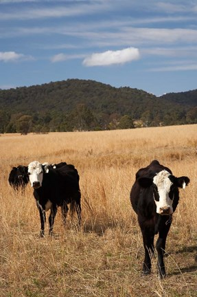 Framed Australia, New South Wales, Wauchope, Cows, Farmland Print