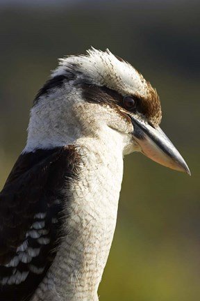 Framed Laughing Kookaburra bird, Nambucca Heads, NSW, Australia Print