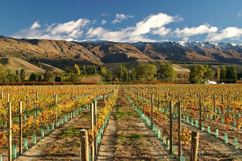 Framed Vineyard and Pisa Range, Cromwell, Central Otago, South Island, New Zealand Print