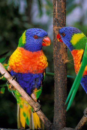 Framed Australia, Pair of Rainbow Lorikeets bird Print