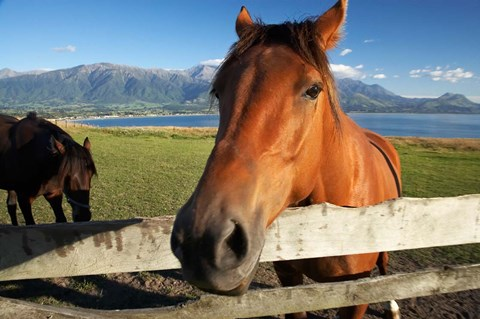 Framed Horse, Kaikoura, Marlborough, South Island, New Zealand Print