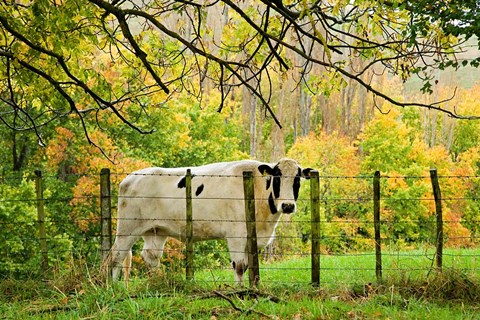 Framed Cow and Farmland, Taoroa Junction, Rangitikei, North Island, New Zealand Print
