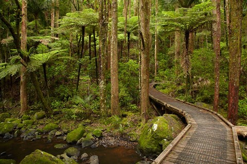 Framed Footbridge over Waikoromiko Stream and forest, North Island, New Zealand Print