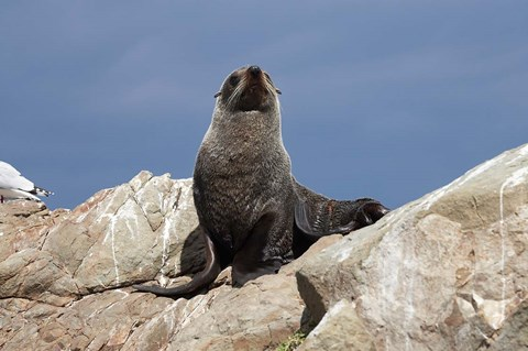 Framed Fur Seal, Kaikoura Coast, South Island, New Zealand Print