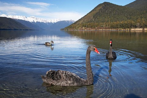 Framed New Zealand, South Island, Nelson Lakes, Black Swan birds Print