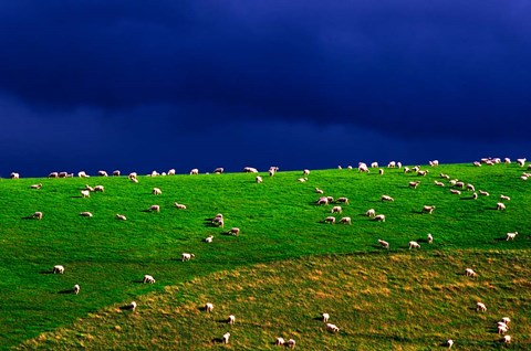 Framed New Zealand, South Island, sheep grazing, farm animal Print