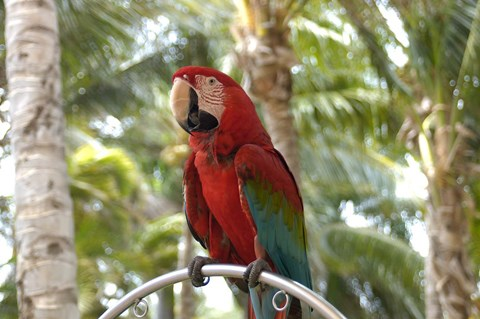 Framed Parrot at Radisson Resort, Palm Beach, Aruba, Caribbean Print