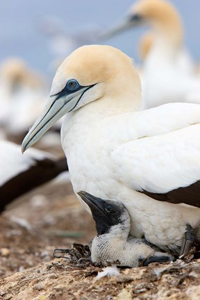 Framed Australasian Gannet chick and parent on nest, North Island, New Zealand Print