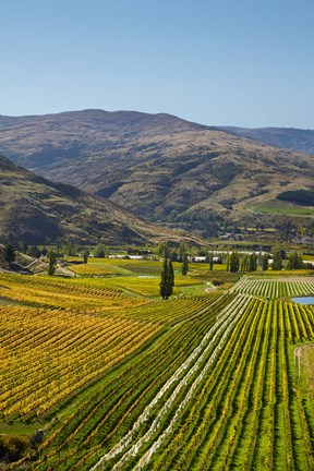 Framed Felton Road Vineyard, Autumn, Bannockburn, Central Otago, South Island, New Zealand Print