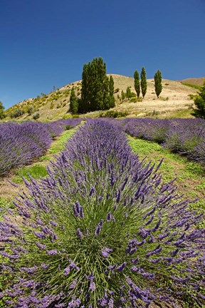 Framed Lavender Farm, near Cromwell, Central Otago, South Island, New Zealand (vertical) Print