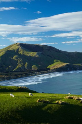 Framed Sheep grazing near Allans Beach, Dunedin, Otago, New Zealand Print