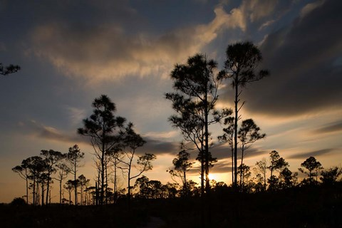 Framed Bahamas, Lucaya NP, Setting sun on Caribbean Pine Trees Print