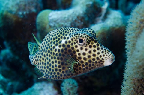 Framed Spotted Trunkfish, Bonaire, Netherlands Antilles Print