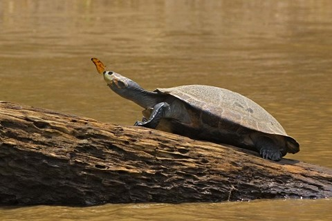 Framed Turtle Atop Rock with Butterfly on its Nose, Madre de Dios, Amazon River Basin, Peru Print