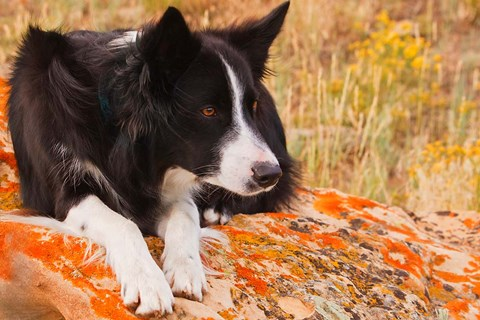 Framed Purebred Border Collie dog on moss rock Print