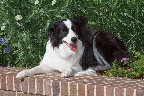 Framed Purebred Border Collie dog lying on wall Print