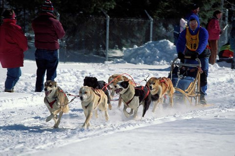 Framed Sled Dog Team, New Hampshire, USA Print