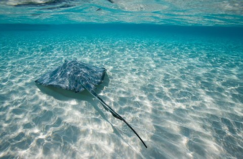 Framed Cayman Islands, Southern Stingray in Caribbean Sea Print