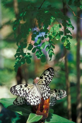 Framed Butterfly Farm on St Martin, Caribbean Print