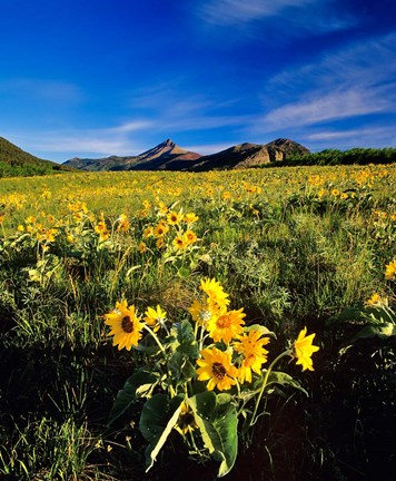 Framed Balsamroot along the Rocky Mountain Front, Waterton Lakes National Park, Alberta, Canada Print
