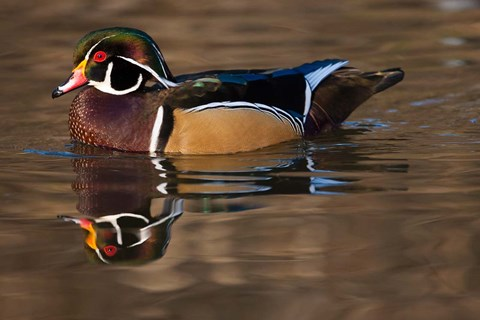 Framed Close up of Wood duck, British Columbia, Canada Print