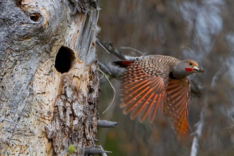 Framed British Columbia, Red-shafted Flicker bird Print