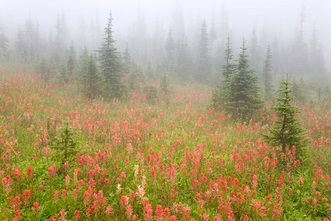 Framed British Columbia, Revelstoke NP, Misty meadow Print