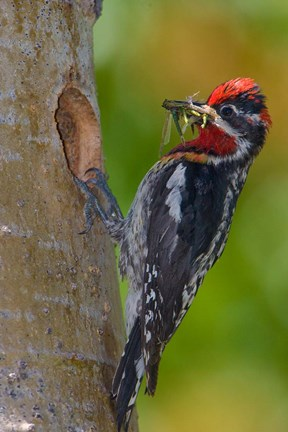 Framed Canada, British Columbia, Red-naped Sapsucker bird, nest Print
