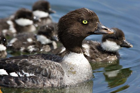 Framed Barrow's Goldeneye Female with Chicks, Lac Le Jeune, British Columbia, Canada Print
