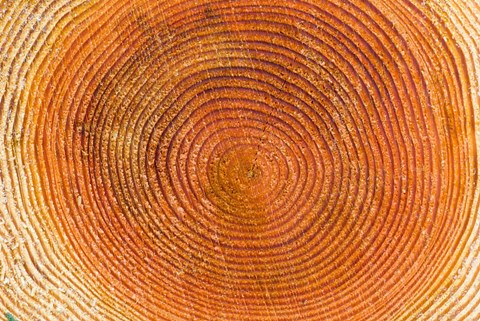 Framed Tree rings, Stanley Park, British Columbia Print