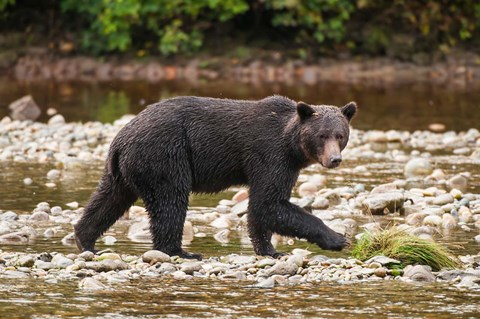 Framed Grizzly bear fishing for salmon in Great Bear Rainforest, Canada Print
