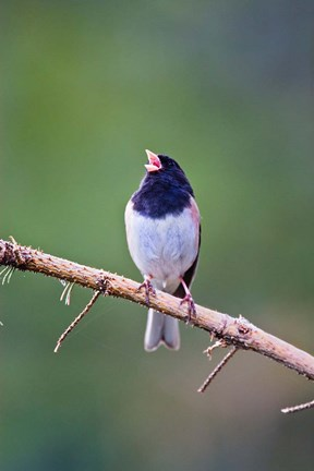 Framed British Columbia, Dark-eyed Junco bird, singing Print