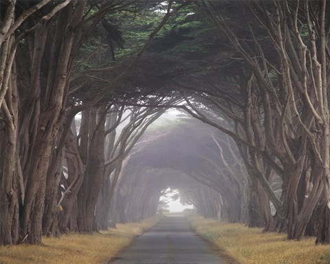 Framed Corridor of Cypress Print