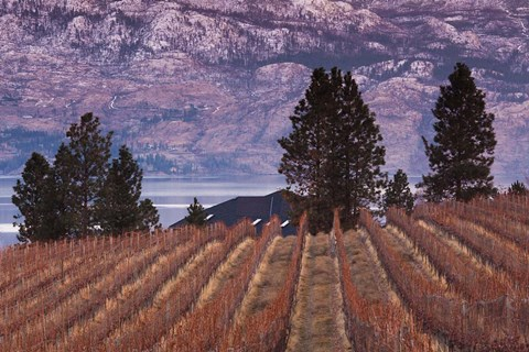 Framed Vineyard and lake, West Kelowna, Okanagan Valley, British Columbia, Canada Print