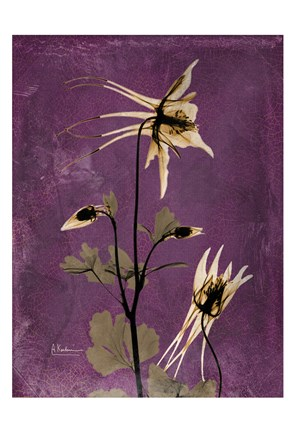 Framed Columbine Purple Print