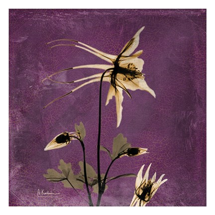 Framed Columbine Purple 2 Print