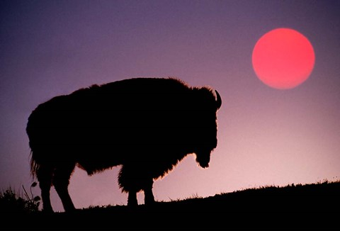 Framed Bison Silhouetted at Sunrise, Yellowstone National Park, Wyoming Print