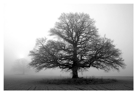 Framed Tree in Mist 2 Print