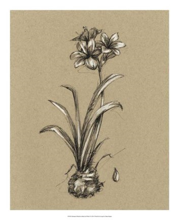 Framed Botanical Sketch Black & White II Print