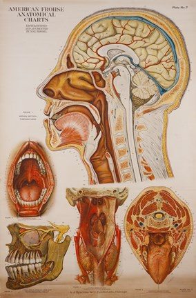 Framed American Frohse Anatomical Wallcharts, Plate 7 Print