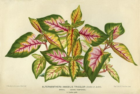 Framed Alternanthera Amabilis Tricolor Print