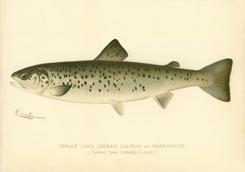 Framed Female Land Locked Salmon Print