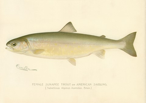 Framed Female Sunapee Trout Print